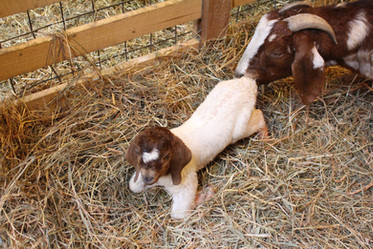 goat baby.jpg