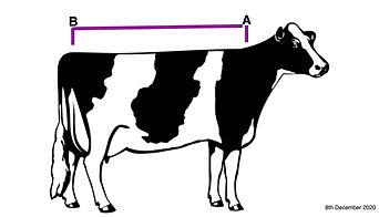 measure a cow_edited.jpg