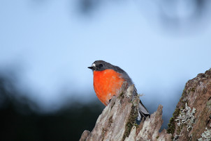 Flame robin, Point Lookout
