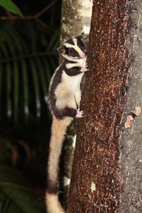 Striped possum, Lake Eacham.