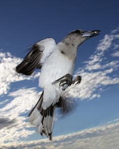 Pied butcherbird, Woolgoolga