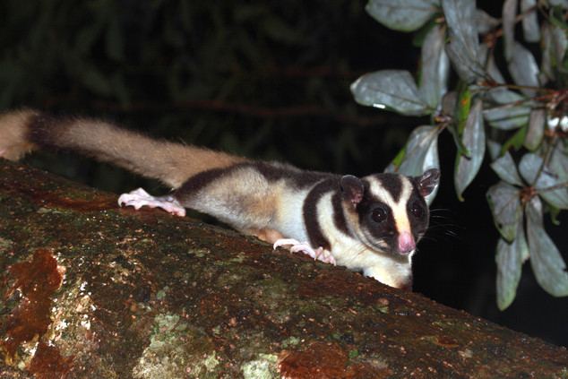 Striped possum, Lake Eacham