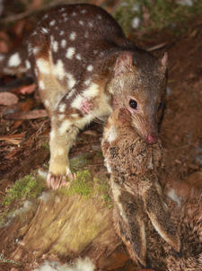 Spotted-tail Quoll killing a hare, Point Lookout