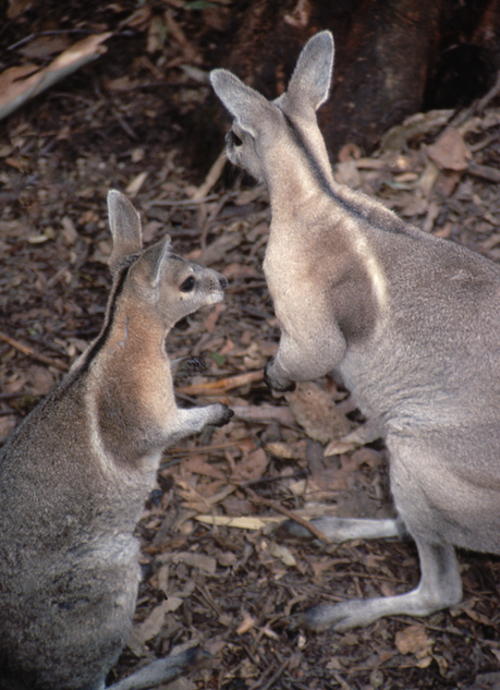 Bridled nail-tail wallaby, Currumbin