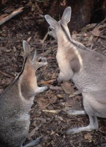 Bridled nail-tail wallaby, Currumbin