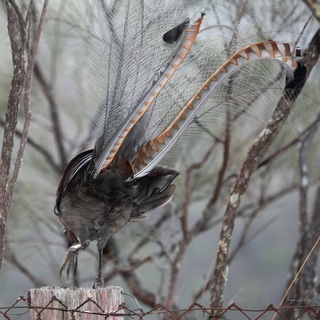 Superb lyrebird, Wollomombi