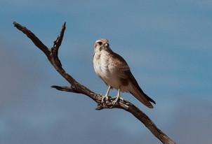 Brown falcon, Cunnamulla