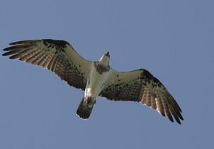 Osprey, Woolgoolga