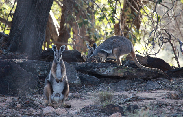 Yellow-footed rock-wallaby, Idalia