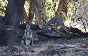Yellow-footed rock-wallaby, Idalia