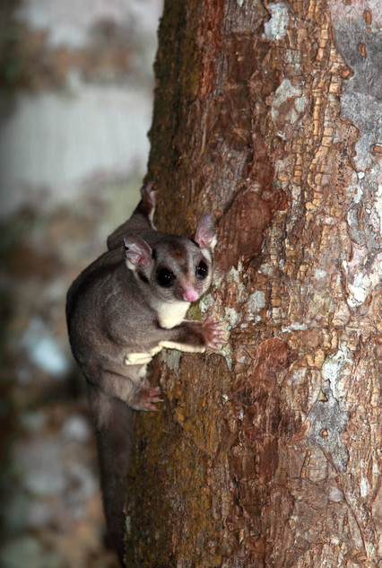 Sugar glider, Lake Eacham