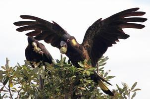 Yellow-tailed black cockatoo, Woolgoolga