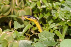Green tree-snake, Woolgoolga