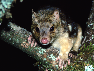 Spotted-tail quoll, Pt Lookout