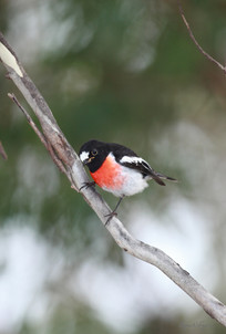 Scarlet Robin, Pt Lookout