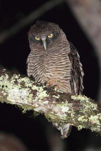 Rufous owl, Wongabel SF