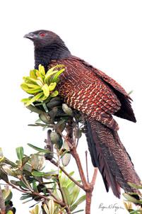 Pheasant coucal, Woolgoolga.