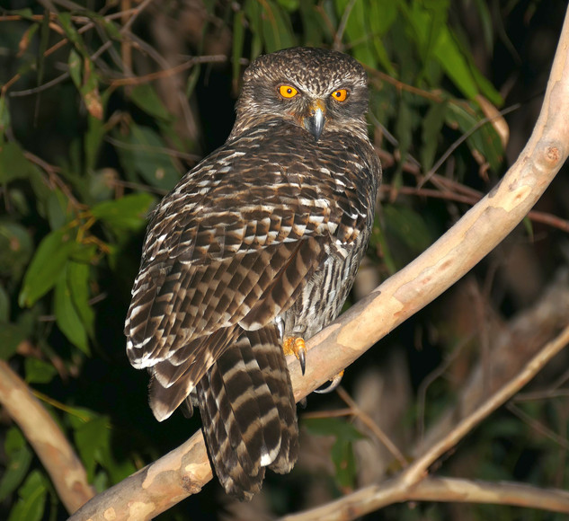 Powerful owl, Pigeon Gully