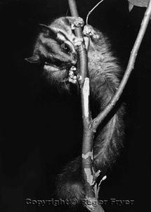 Leadbeaters possum, Marysville