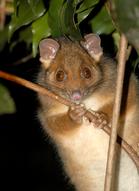 Rainforest ringtail, Washpool