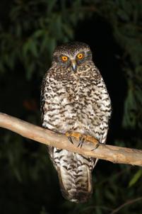 Powerful owl, Pigeon Gully