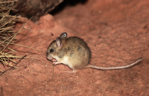 Mitchell's hopping mouse, Alice Springs