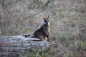 Black wallaby Wollomombi