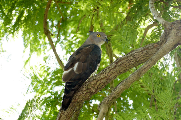 Crested hawk, Grafton