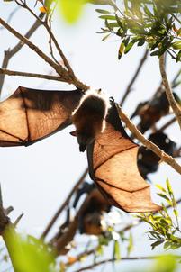 Grey-headed flying fox, Woolgoolga