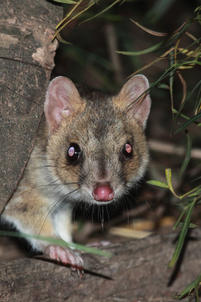 Eastern quoll, Lithgow