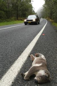 Koala tragedy, Pine Creek.