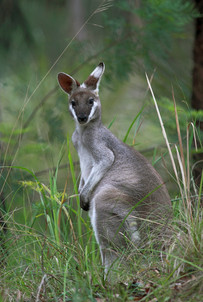 Pretty-face wallaby, Mann River