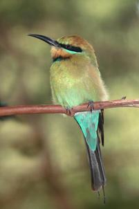 Rainbow bee-eater, Woolgoolga