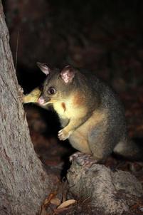 Brushtailed possum, Wollomombi