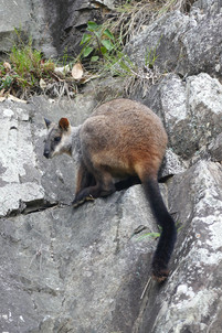 Brush-tailed rock-wallaby,  Dalmorton Bluff