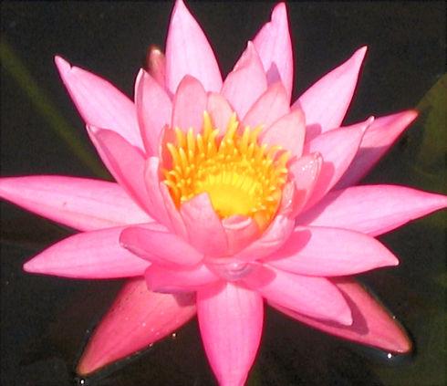 lotus%2520flowert_edited_edited.jpg