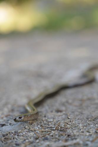 The Slowworm