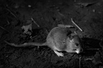 'Rat Are You Looking At' by Alan Hillen