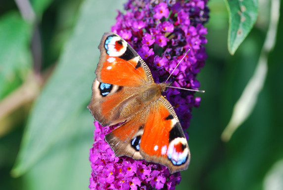 NaviHo Rewilding Peacock Butterfly.jpg