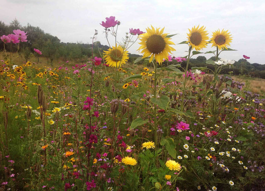 NaviHo Rewilding Sunflowers.jpg