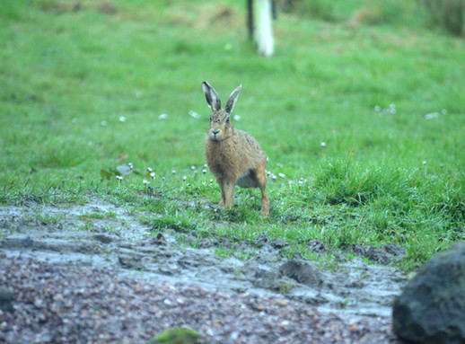 NaviHo Rewilding Hare.jpg