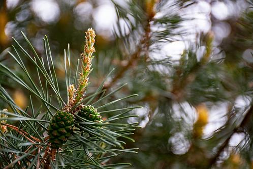 Toasted Pine