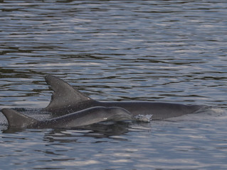 2018 Port Stephens Dolphin Census Results