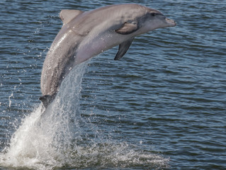 Community Dolphin Census Postponed