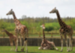 Giraffes at Banham Zoo