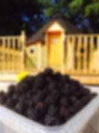 picking blackberries in suffolk with a pixie hut behind