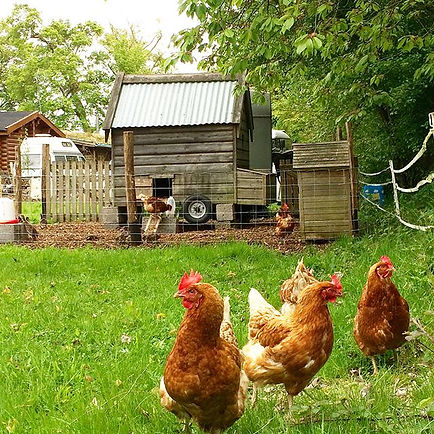 free range chickens in front of their coop