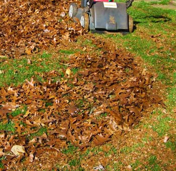 Smart gardeners mulch fallen leaves into lawn to save money