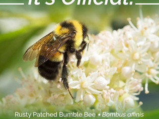 How could the announcement of the First Bumblebee Declared Endangered in the U.S. be a good thing?