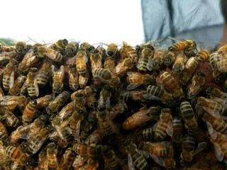 Winter Hardy Bees & Types of Bees